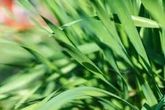 Erba verde fresca con la gocciolina di acqua in sole Fotografia Stock Libera da Diritti