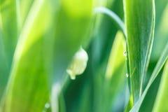 Erba verde fresca con la gocciolina di acqua in sole Fotografie Stock Libere da Diritti