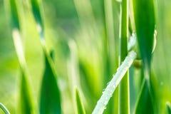 Erba verde fresca con la gocciolina di acqua in sole Fotografia Stock