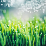 Erba verde fresca con le gocce di rugiada e l'illuminazione del bokeh, natura all'aperto Fotografia Stock