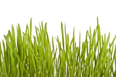 Erba verde fresca del prato inglese Immagine Stock