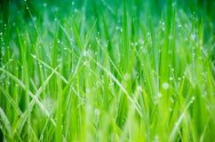 Erba Erba verde fresca della molla con il primo piano di gocce di rugiada Foc molle fotografia stock libera da diritti