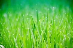 Erba Erba verde fresca della molla con il primo piano di gocce di rugiada Foc molle fotografia stock