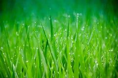 Erba Erba verde fresca della molla con il primo piano di gocce di rugiada Foc molle immagini stock