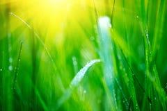 Erba Erba verde fresca della molla con il primo piano di gocce di rugiada Fuoco molle Priorità bassa astratta della natura Fotografia Stock