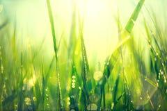 Erba verde fresca della molla con le gocce di rugiada Fotografie Stock