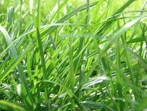 Erba verde fresca della sorgente Immagine Stock