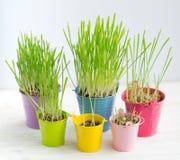 Erba verde fresca in di secchi colorati multi luminosi Fotografia Stock Libera da Diritti