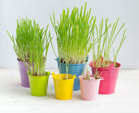 Erba verde fresca in di secchi colorati multi luminosi Immagini Stock