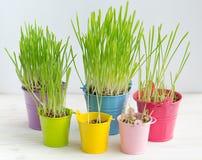 Erba verde fresca in di secchi colorati multi luminosi Immagine Stock Libera da Diritti