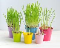 Erba verde fresca in di secchi colorati multi luminosi Fotografia Stock