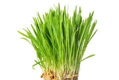 Erba verde fresca, germogli dell'avena, fine su, isolati sulla parte posteriore di bianco Fotografia Stock