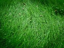 Erba verde fresca nella rugiada Fotografia Stock
