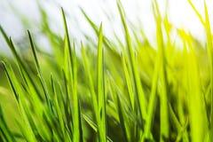 Erba verde fresca in sole Fotografia Stock Libera da Diritti