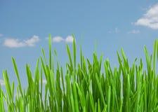 Erba verde fresca sotto cielo blu Fotografie Stock Libere da Diritti