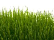 Erba verde fresca su priorità bassa bianca Immagini Stock