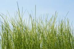 Erba verde fresca sui precedenti del cielo blu Immagine Stock