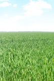Erba verde fresca sul prato Fotografia Stock Libera da Diritti
