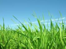 Erba verde. Giorno di estate. Immagini Stock