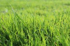 Erba verde intenso Fotografia Stock