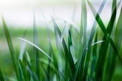 Erba verde intenso Fotografia Stock Libera da Diritti