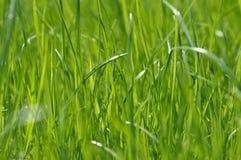 Erba verde intenso fresca di estate Fondo della primavera con un prato inglese verde per progettazione, carta da parati, desktop  immagini stock libere da diritti
