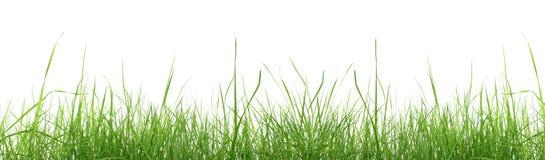 Erba verde isolata. Immagine Stock