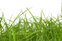 Erba verde isolata Fotografia Stock