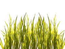 Erba verde isolata del primo piano su bianco Fotografie Stock