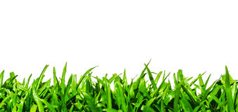 Erba verde isolata su fondo bianco Fotografie Stock Libere da Diritti