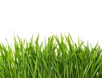 Erba verde isolata su priorità bassa bianca immagini stock libere da diritti