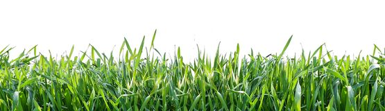 Erba verde isolata su priorità bassa bianca Sfondo naturale Fotografie Stock Libere da Diritti
