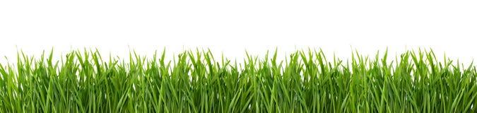 Erba verde isolata su priorità bassa bianca Immagine Stock Libera da Diritti