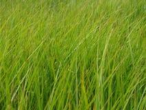 Erba verde lunga Fotografia Stock