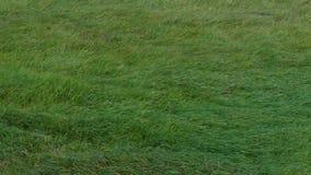 Erba verde lunga che si muove nel vento stock footage
