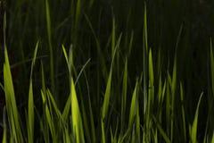 Erba verde lunga immagini stock