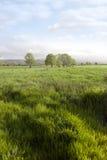 Erba verde lunga per foraggio verde Fotografie Stock Libere da Diritti