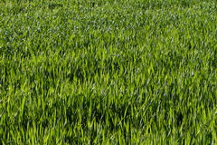Erba verde naturale Fotografia Stock