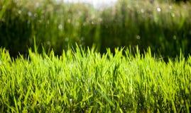 Erba verde nei precedenti della natura al tramonto fotografia stock libera da diritti