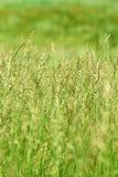 Erba verde nel campo Immagini Stock Libere da Diritti