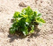 Erba verde nella sabbia nella natura Immagini Stock