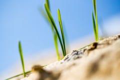 Erba verde nella sabbia nella natura Fotografie Stock Libere da Diritti
