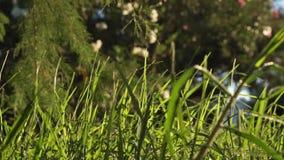 Erba verde non tagliata lunga che soffia nel forte vento stock footage