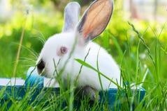 Erba verde Pasqua del coniglio del canestro blu bianco di Wattled Immagine Stock