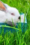 Erba verde Pasqua del coniglio del canestro blu bianco di Wattled Immagini Stock Libere da Diritti