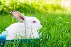 Erba verde Pasqua del coniglio del canestro blu bianco di Wattled Fotografia Stock Libera da Diritti