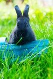 Erba verde Pasqua del coniglio del canestro nero di Wattled Immagini Stock Libere da Diritti