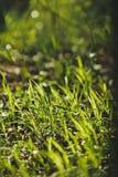 Erba verde piccola Fotografia Stock Libera da Diritti