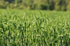 Erba verde pura in un campo fotografia stock libera da diritti