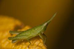 Erba verde Pyrgomorphidae Fotografia Stock Libera da Diritti